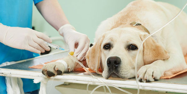 Dog receiving IV injection from veterinary surgeon